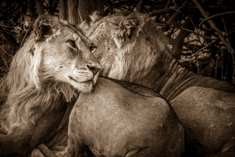 What a touching wildlife scene at Chobe NP. The two crossing eyes of the lions give the illusion of a heart! What a magic moment.