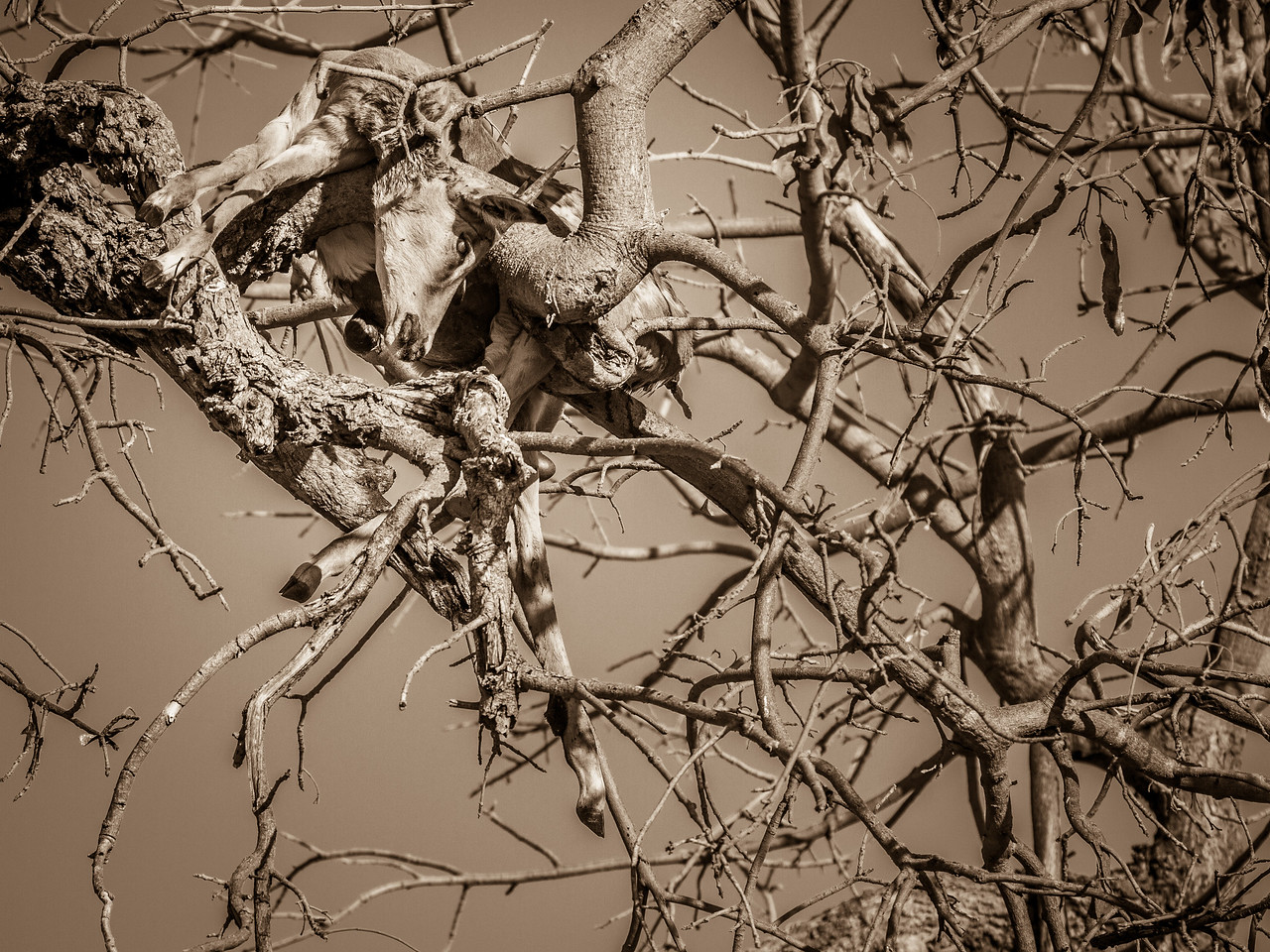 Tragic wildlife scene at Chobe NP.