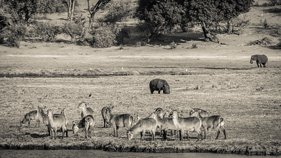 Marvelous wildlife scene around stunning Chobe River.