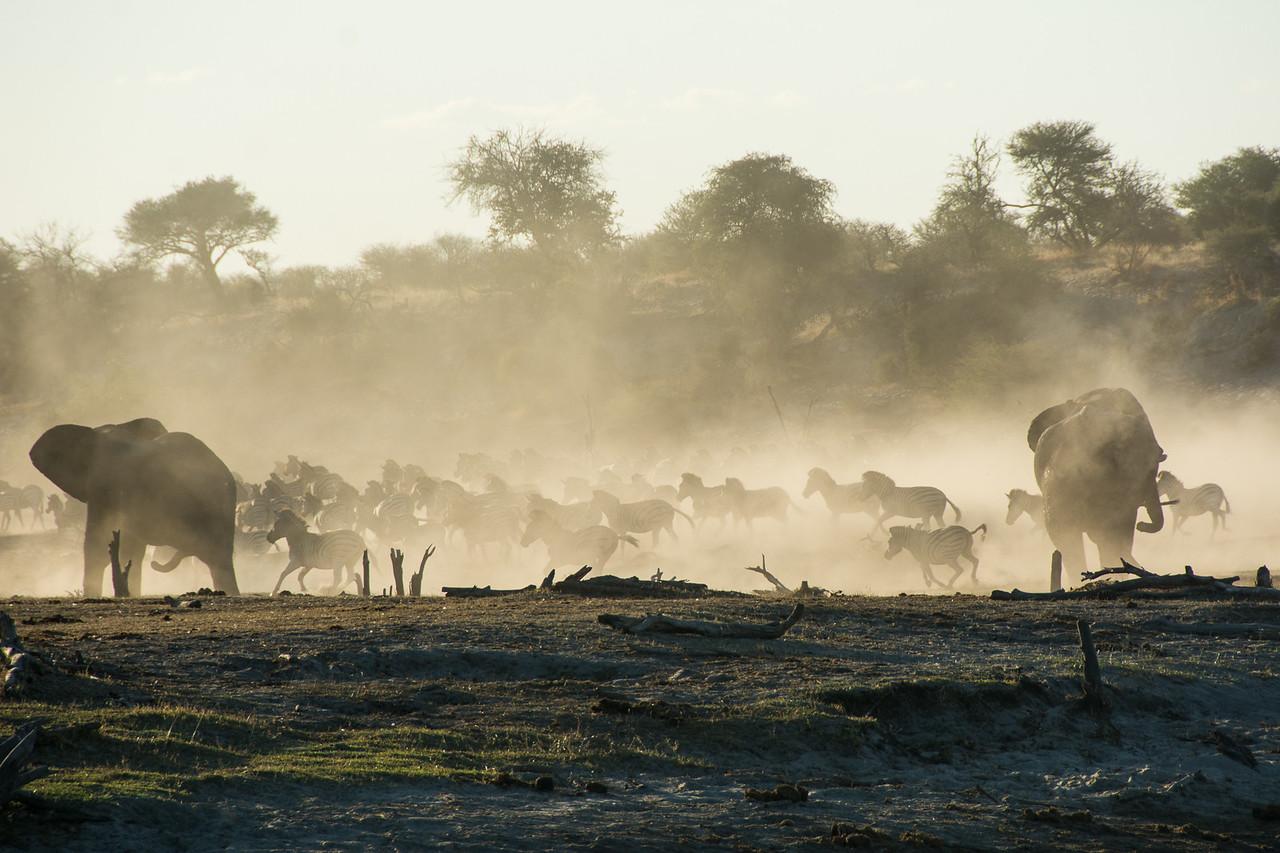 Dust Picks Up at the Boteti River as Zebra Herd Runs - Leroo La Tau, Botswana