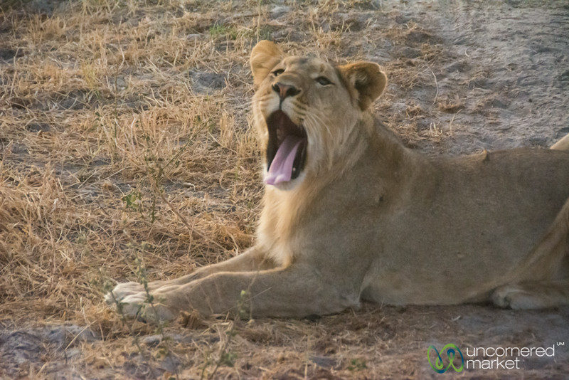 Lion Yawn - Leroo La Tau, Botswana