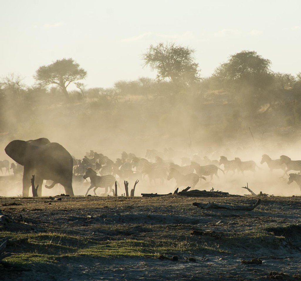 Botswana: First Impressions now up on the blog (link in profile). In this image: Dust! Late afternoon game drives at Camp Leroo La Tau served up astonishing beauty of all sorts, including dazzling shades of light and dust silhouettes as elephants and a herd of zebra, spooked by a jackal, take off en masse down the Boteti River. Taken in the Mkgadikgadi Pans National Park. via Instagram http://ift.tt/28Xn4fk