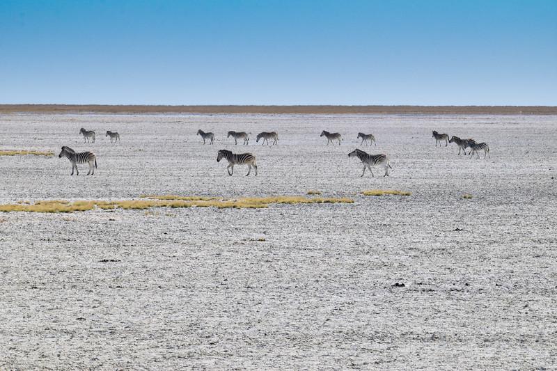 Zebras walking through salt pans