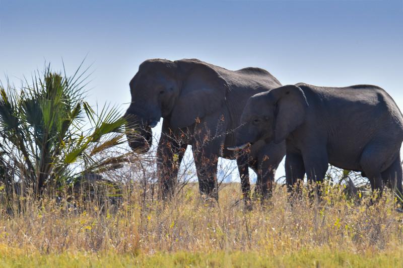 Elephans having dinner in Maggadikgadi National Park