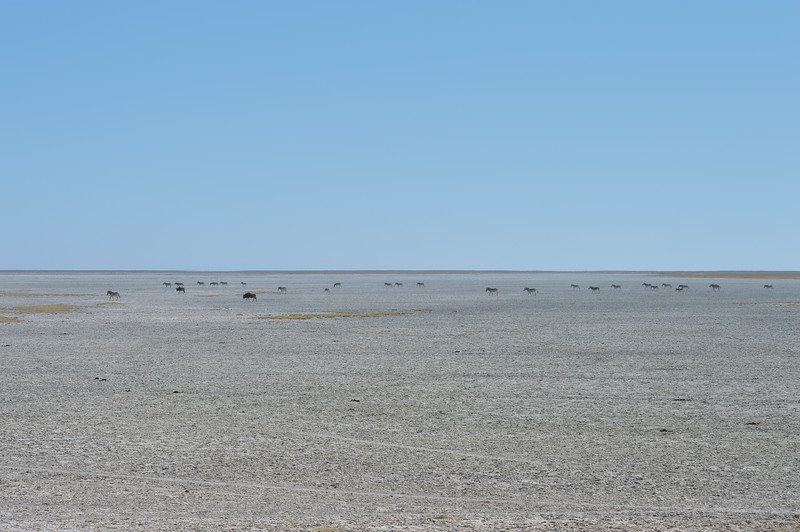 Zebras walking through salt pans