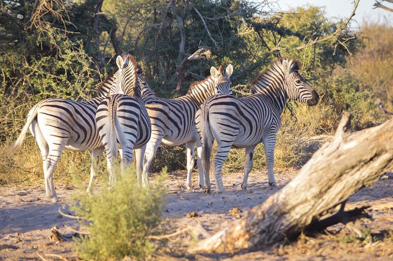 Zebras walking in the sun set