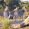 Zebras walking in the sun set