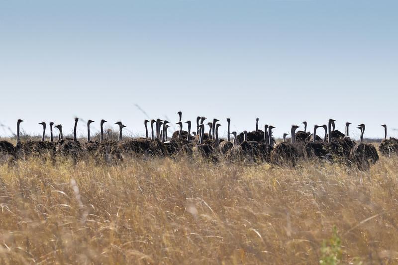 Ostriches seem to enjoy their company