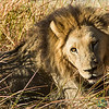 Sleepy Male Lion - Moremi Game Reserve, Botswana
