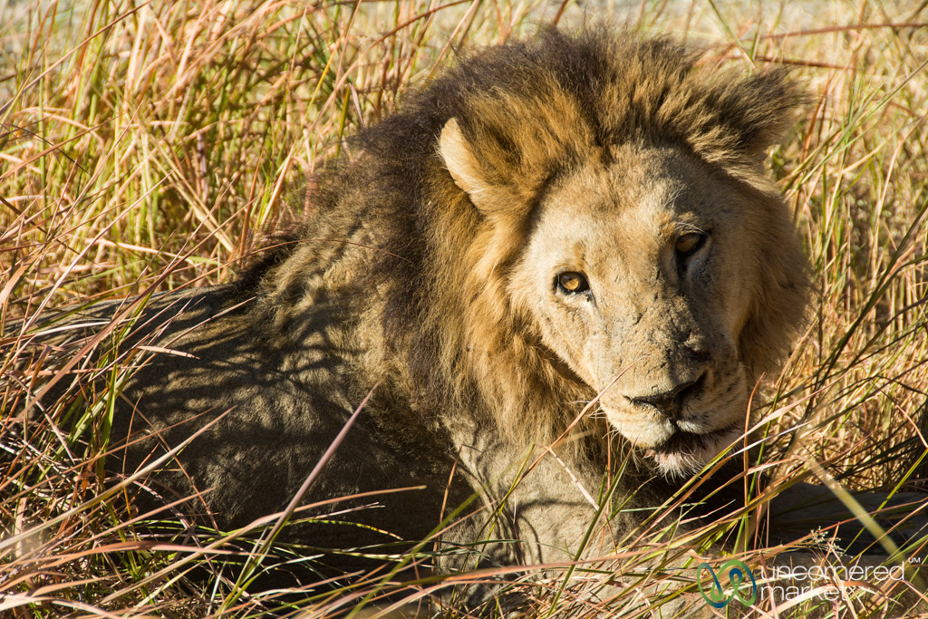 Sleepy Male Lion - Moremi Game Reserve, Botswana
