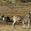 Feeding Time for Baby Zebra - Leroo La Tau, Botswana