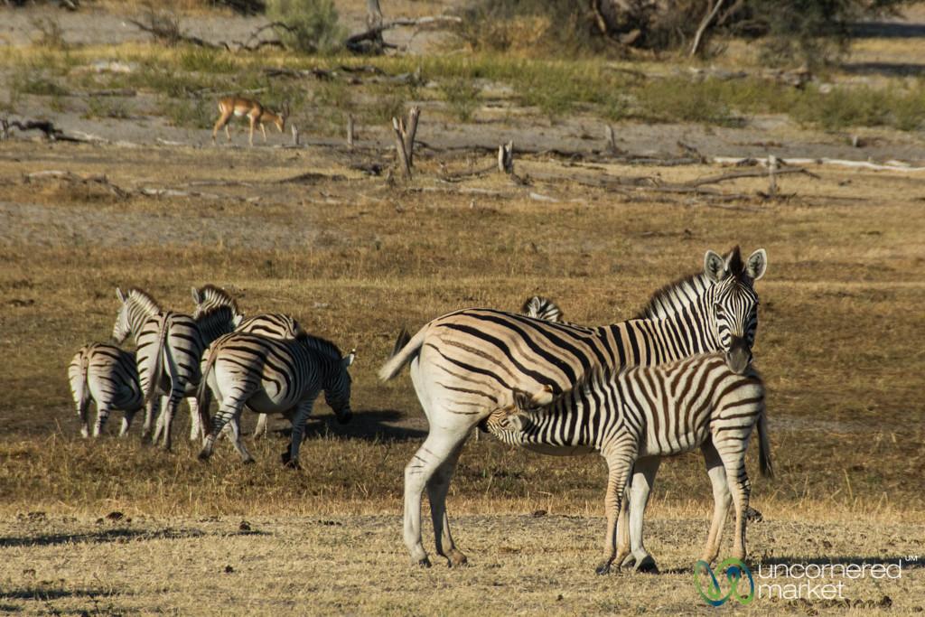 Feeding Time for Baby Zebra - Leroo La Tau, Botswana