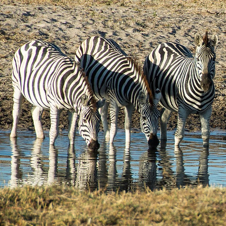 """3 of 1000s of zebra we'd seen. Botswana is home to the second largest zebra migration in Africa, whereby over 25,000 zebra make their way down the Boteti River in search of water during the dry season. During our stay at Leroo La Tau on the edge of Mgkadigkadi Pans National Park, we witnessed the prelude to this mass move as vast herds of zebra filled the valley and river basin through the course of the day and into the late afternoon. The """"in case you didn't know"""" factoid bonus: the zebra is the national animal of Botswana. via Instagram http://ift.tt/26bxFbh"""