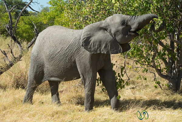 Elephant Eating Time - Moremi Game Reserve, Botswana
