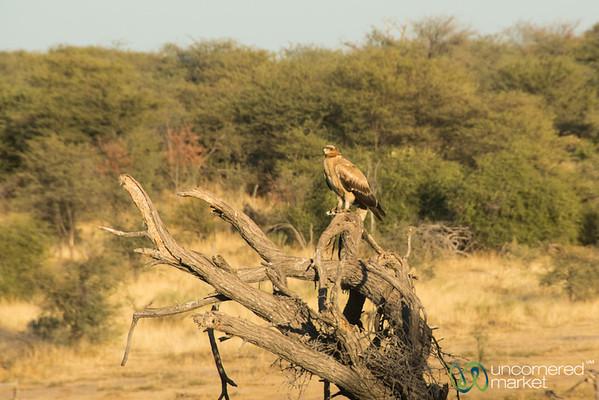 Juvenile Bataleur Eagle - Leroo La Tau, Botswana