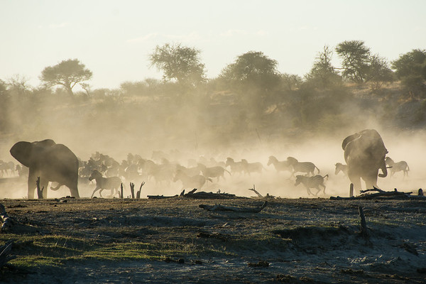 Dust Picks Up at the Boteti River as Zebra Herd Runs - Leroo La Tau, Botswana