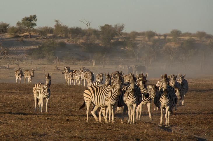 Zebra Migration Begins - Leroo La Tau, Botswana