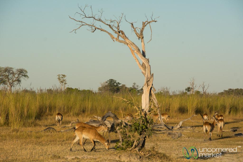 Red Lechwe Antelope - Moremi Game Reserve, Botswana