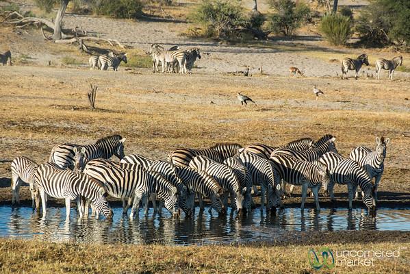 Zebra Migration Begins - Boteti River, Botswana