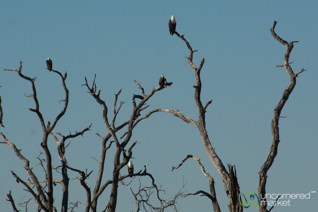 Fish Eagles in a Group - Moremi Game Reserve, Botswana