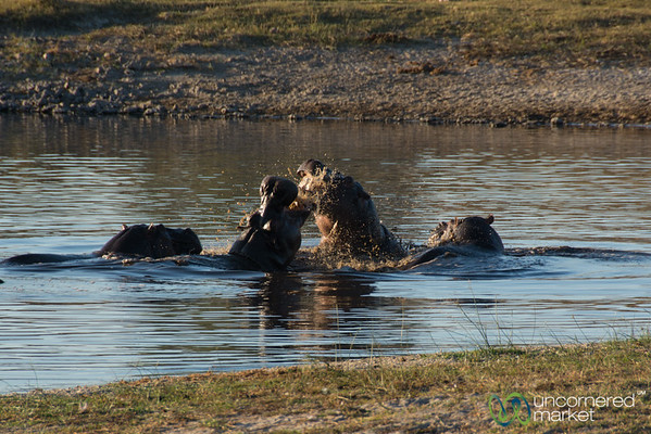 Hippos Fighting in the Water - Leroo La Tau, Botswana