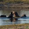 Hippos Fighting in the Water - Leroo La Tau, Botswana