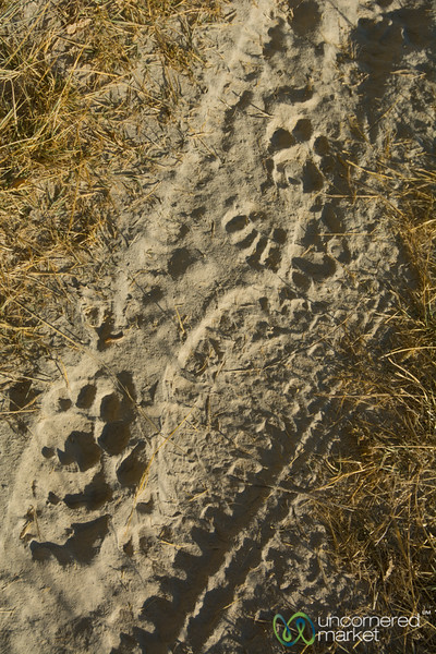 Lion Tracks in the Sand - Camp Xakanaxa, Botswana