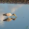 Yellow-Billed Stork, Reflected - Leroo La Tau, Botswana