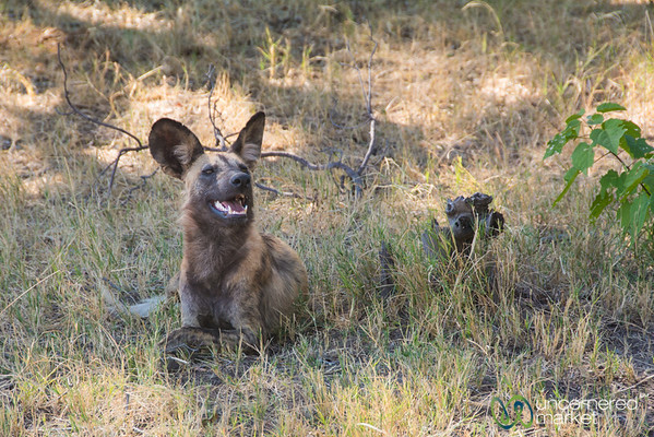 Wild Dog, Post Hunt - Moremi Game Reserve, Botswana
