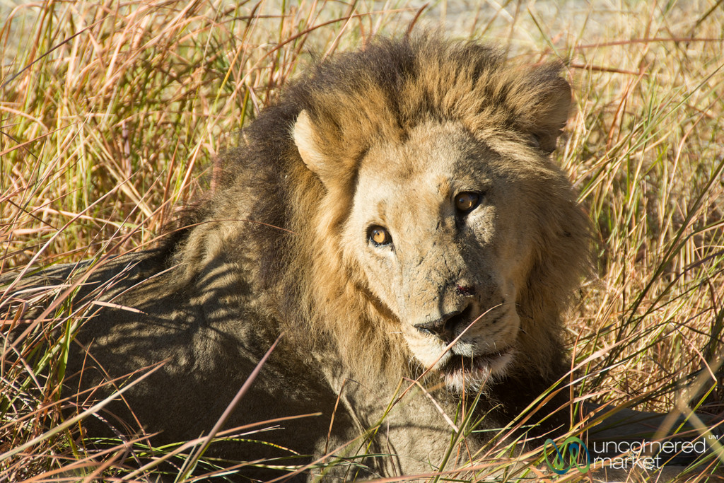 Male Lion in Moremi Game Reserve - Camp Xakanaxa, Botswana