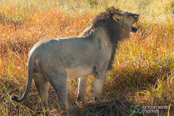 Lion Marking His Territory - Moremi Game Reserve, Botswana