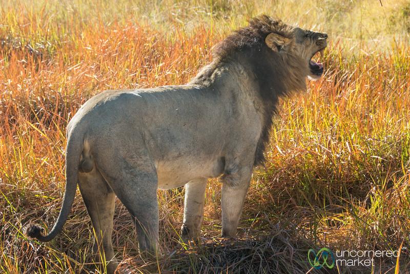 Lion Marking His Territory - Moremi Game Reserve, Botswana