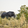 Elephant male walking 50 meters away from our camp