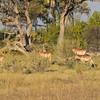 Bechelor group of impala