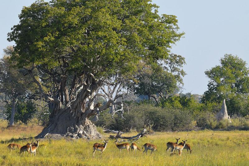 Herd of Red Lechwe