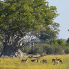 Herd of Red Lechwe