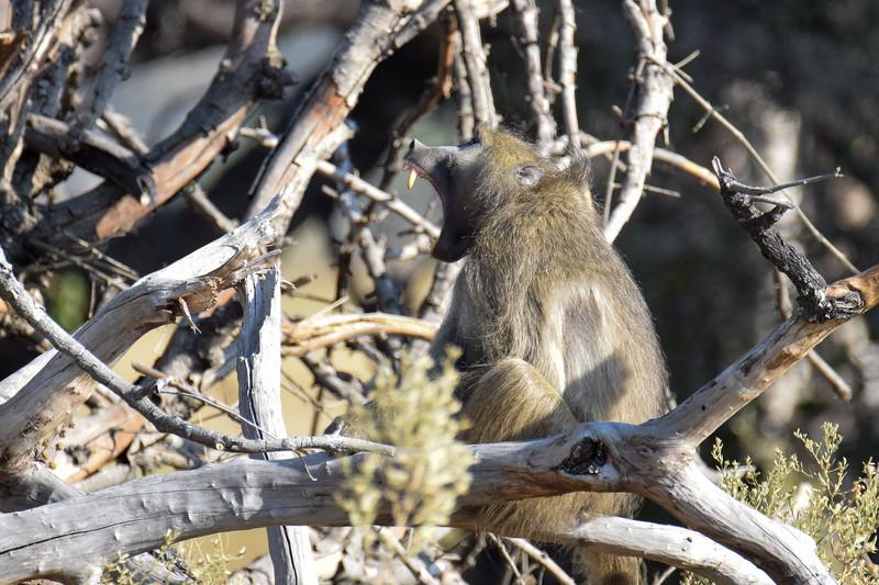 Baboon making a warning call