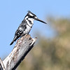 Male of Pied Kingfisher