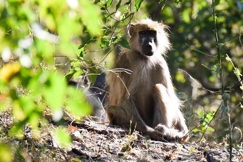 Baboon in a morning sun