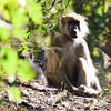 Baboon in a morning sun