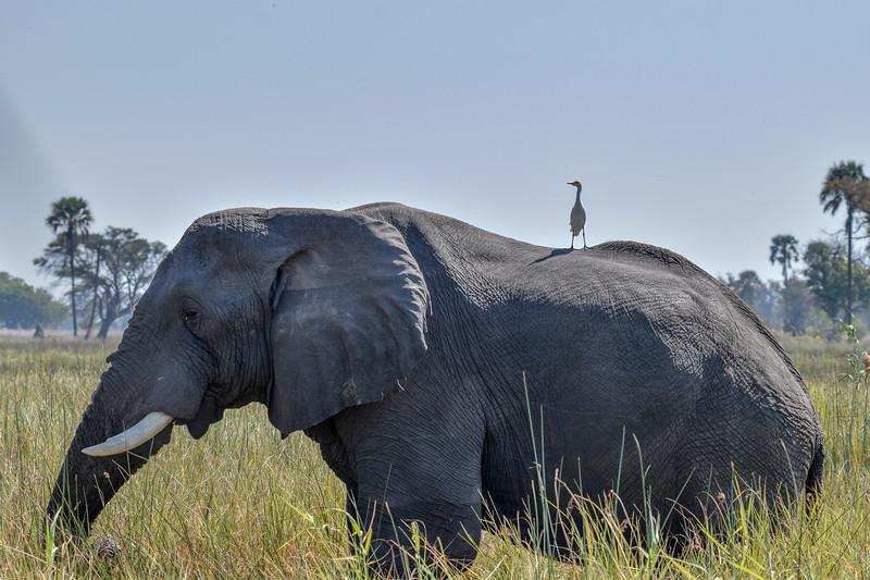 Elephant with stowaway