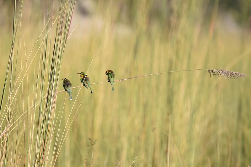Three little birds on a stalk of grass