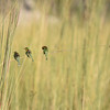 Three little birds on a stalk of grass