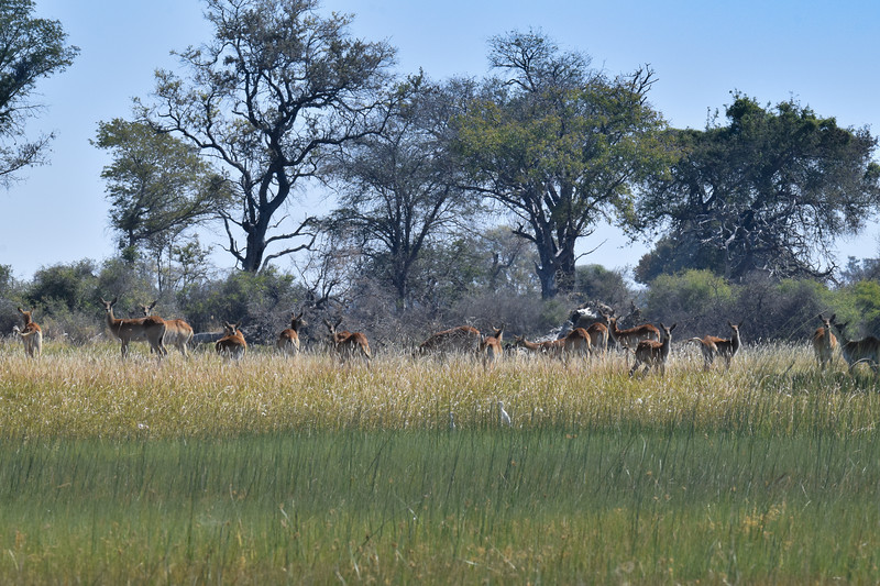 Red Lechwe grazing over the river