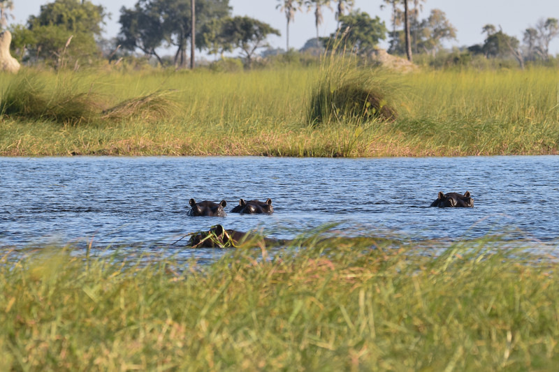 Hippos family in Okavango