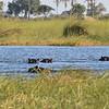 Hippos family in Okavango