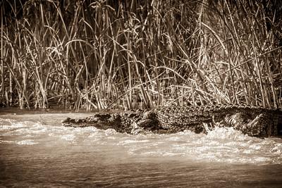 Crocodile in action in Okavango Delta.