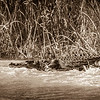 Crocodile in action in Okavango Delta.