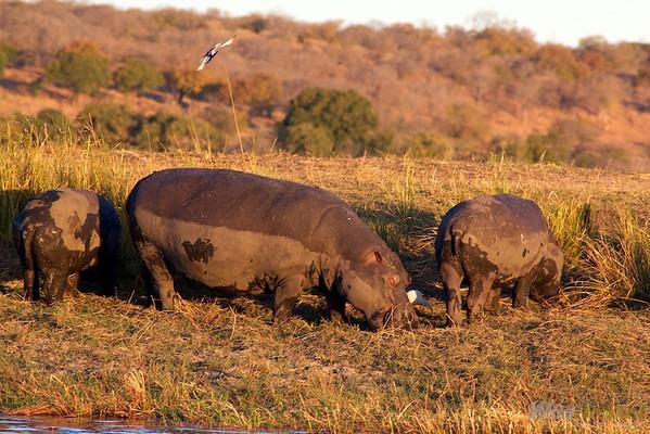 Hippos at Chobe River