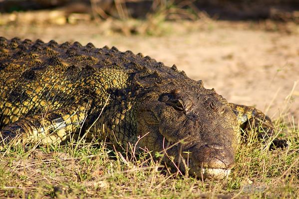 Nile crocodile at the Chobe